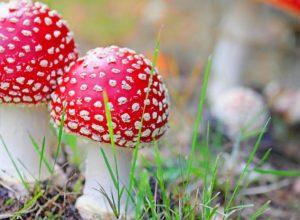 У Любарському районі двоє жінок отруїлися грибами, одна з них в лікарні
