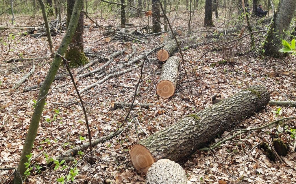 У Любарському районі виявлено факт незаконної порубки дубів